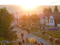 Eine Herde aus Kühen und Ziegen trottet die Dorfstraße von Weißkirch hinunter