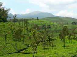 Hellgrüne Landschaft mit Bäumen, Kaffeepllantagen und Bergen im Hintergrund