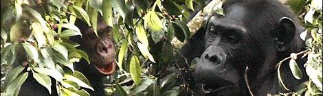 Eine Schimpansenmutter spielt im Blätterwerk mit ihrem Baby