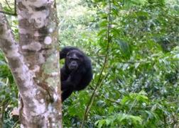 Ein Schimpanse hält sich am Stamm eines riesigen Baumstammes fest