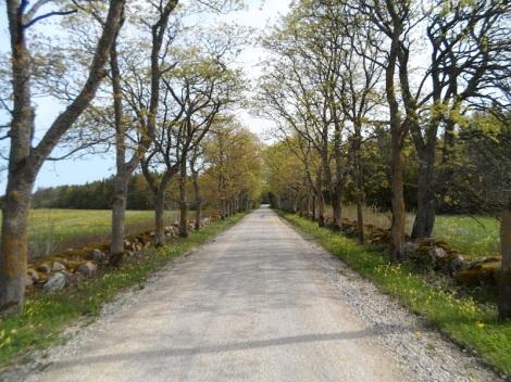 Eine Allee auf der estnischen Insel Saaremaa