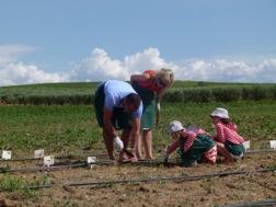Auf einem Feld pflanzen zwei Kinder mit ihren Eltern Gemüse