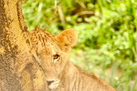 Löwe in Kenia - Foto: Susanna Hagen, respontour