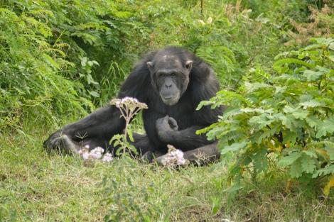 Schimpansen in Kenia - Foto: Susanna Hagen, respontour