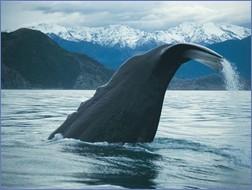 Gewaltige Meeresbewohner vor majestätischer Kulisse - Walbeobachtung in Neuseeland (Fotos: Whale Watch Kaikoura http://www.whalewatch.co.nz/)