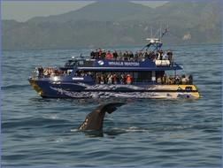 Ganz nah dran am Wal, aber mit Respekt und Verstand. (Fotos: Whale Watch Kaikoura http://www.whalewatch.co.nz/)