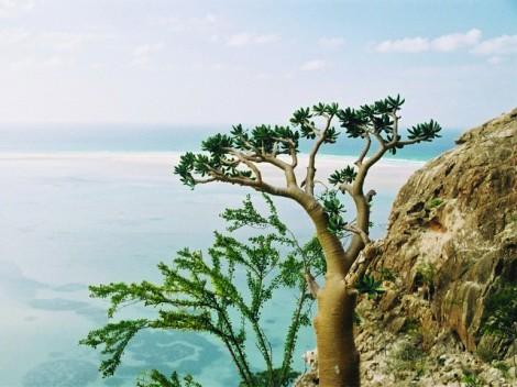Schroffe Felsküsten und die typische Vegetation mit Drachenbäumen über strahlend blauem Meer in Sokotra/Jemen