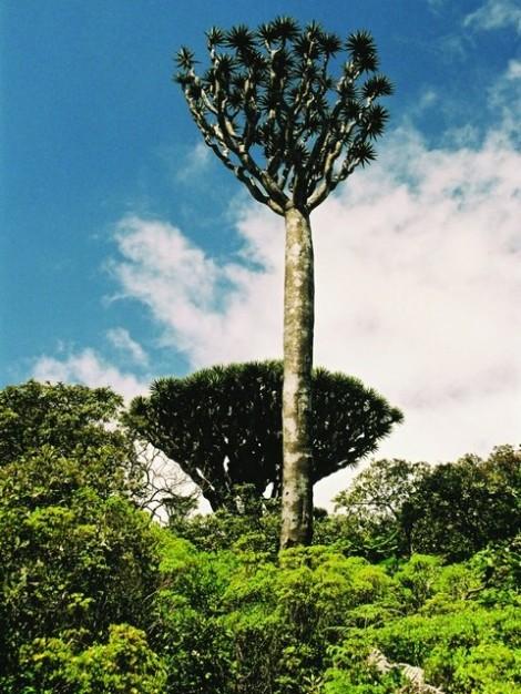 Der Drachenbaum ist ein Wahrzeichen der jemenitischen Insel Sokotra