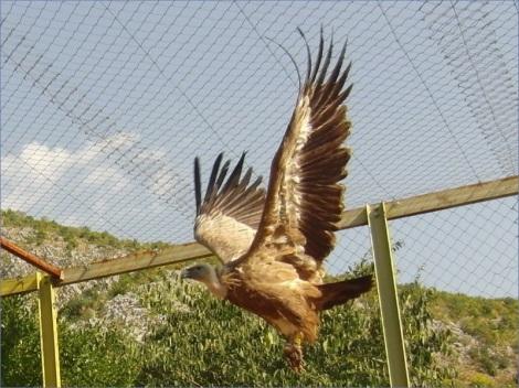 Die Geier waren auf dem Balkan fast ausgerottet. Nun bemüht man sich um eine Wiederansiedlung neuer Brutpaare. Bis zur Auswilderung werden die Tiere in geschützter Umgebung an die neue Heimat gewöhnt. (Foto: M. Bauer)